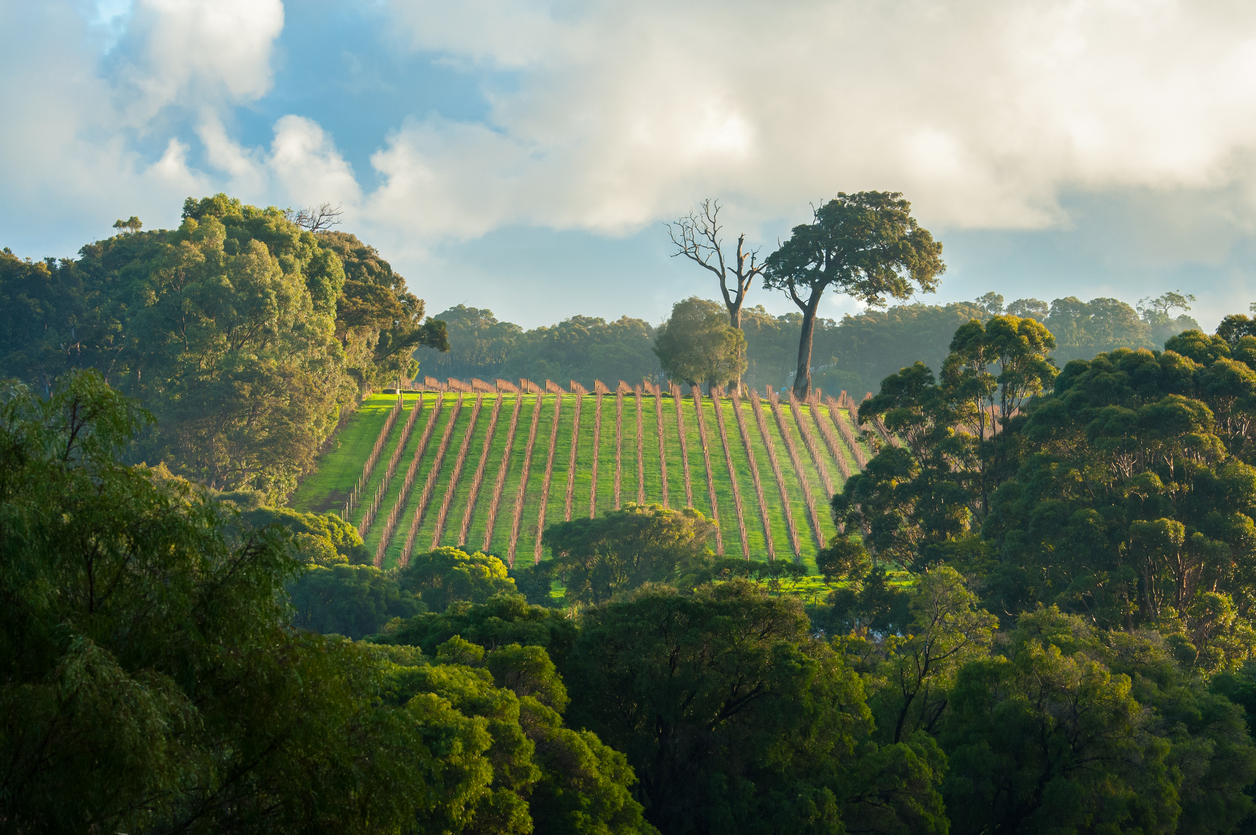 bright early morning light on winter vineyard surrounded by dense gumtree or eucalypt forest under cloudy sky